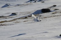 Ptarmigan flying by the �phar mountains. Photo: Magnus Strand